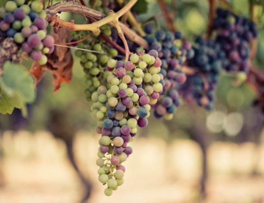 véraison grappe
