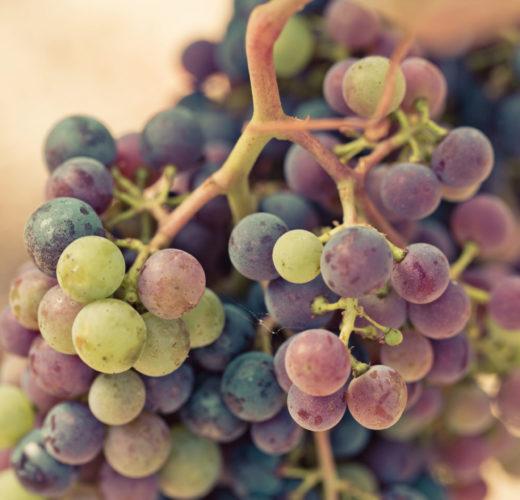 Terroir - véraison de la vigne