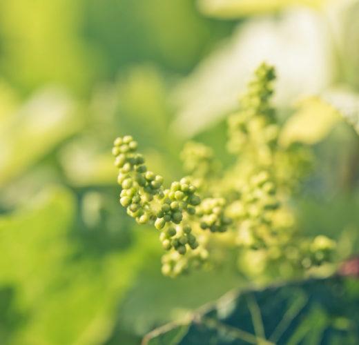 Terroir - fleurs de vigne